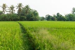 Rice pole jest zielony z drzewami i niebem zdjęcie stock