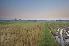 Rice pole przed zmierzchem Zdjęcie Royalty Free