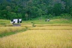Rice pole przy krawędzią dżungla Obrazy Royalty Free
