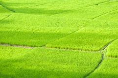 Rice pole przy Nan prowincją, Tajlandia Zdjęcia Royalty Free