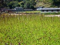 Rice pole przy Nepal wioską Zdjęcie Stock
