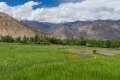 Rice pole w lecie w Leh mieście, Ladakh, India zdjęcie stock