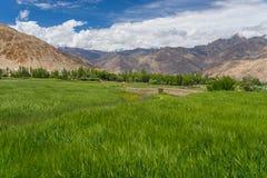 Rice pole w Leh mieście w lato sezonie, Leh, Ladakh, India fotografia stock