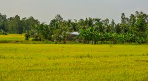Rice pole w Mekong delcie, Wietnam obrazy royalty free