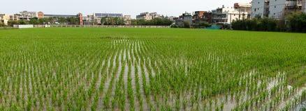 Rice pole w Taoyuan okręgu, Tajwański Kwiecień 2016 Zdjęcia Royalty Free
