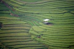 Rice pole w tarasie Fotografia Stock