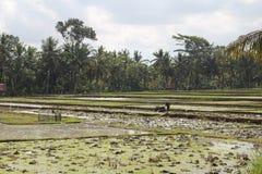 Rice pole w Ubud fotografia stock