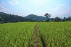 Rice pole z ścieżką i jasnym niebem Obraz Royalty Free
