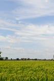 Rice pole z chmurą Obrazy Stock