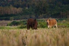 Rice pole z krowami Zdjęcie Royalty Free