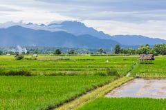 Rice pole z Luang Chiang Dao w Chiang Mai, Tajlandia Fotografia Royalty Free