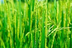 Rice pole, zamyka up Fotografia Stock