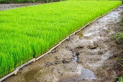 Rice is preparing for planting. Close up new rice paddy field in north of Thailand. Beautiful green rice field Royalty Free Stock Image