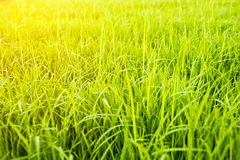 Rice is preparing for planting. Close up new rice paddy field in north of Thailand with beautiful light. Beautiful green rice field Royalty Free Stock Photo