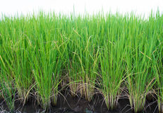 Rice produced Royalty Free Stock Photography
