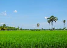 Rice śródpolna zielona trawa Fotografia Stock