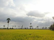 The rice in the rainy season Stock Images