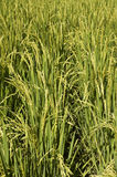 Rice ready for harvest Royalty Free Stock Photography