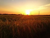 The rice is ready for harvest Royalty Free Stock Photo