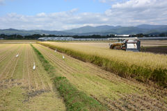 Rice Reaping. Beside the harvest tractor,egrets wait to catch a frog and other foods Stock Image