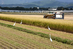 Rice Reaping. Beside the harvest tractor,egrets wait to catch a frog and other foods Stock Photography
