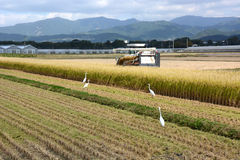 Rice Reaping. Beside the harvest tractor,egrets wait to catch a frog and other foods Royalty Free Stock Photo