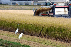 Rice Reaping. Beside the harvest tractor,egrets wait to catch a frog and other foods Stock Images