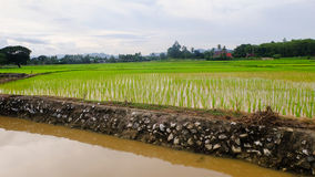 Rice Recently planted fields with irrigation Royalty Free Stock Images
