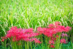 Rice and Red Spider Lilies stock photography