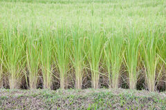 Rice in the rice field Royalty Free Stock Photography