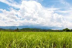 Rice in the rice field Royalty Free Stock Photo