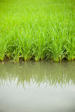 Rice and rice fields. Stock Photo