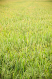 Rice and rice fields. Royalty Free Stock Photo