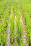 Rice in the rice fields Royalty Free Stock Image