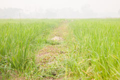Rice in the rice fields Royalty Free Stock Images