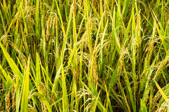 Rice in the rice harvest ready Stock Images