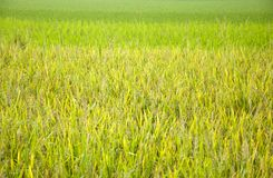 Rice and rice seedlings Stock Photo
