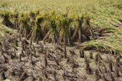 Rice and rice straw royalty free stock photos