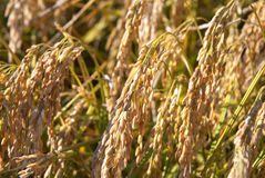 Rice. In field, Liaoning Province, China Stock Image
