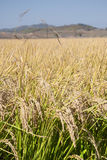 Rice. In field, Liaoning Province, China Stock Images