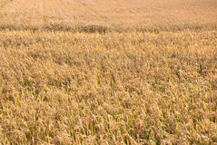 Rice. In field, Liaoning Province, China Royalty Free Stock Photography