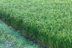 Rice rich grass close Stock Image