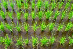 Rice in the rows. Rice plant in the rows on mud filed stock photography