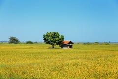 Rice, ryżu pole, niebieskie niebo, Sri Lanka zdjęcie stock