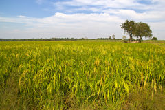 Rice sätter in Royaltyfria Bilder