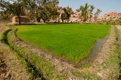 Rice sätter in Royaltyfria Foton