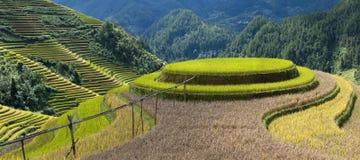 Rice sätter in Fotografering för Bildbyråer