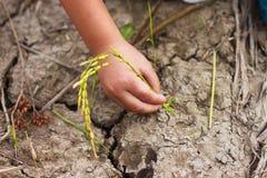 Rice sätter in Arkivfoto