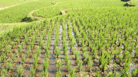 Rice sätter in Arkivfoton