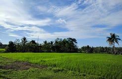 Rice sätter in arkivbilder